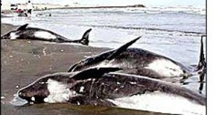 Marine noise has been known to disorientate whales in the past