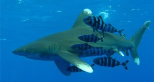 Oceanic whitetip shark with a small school of pilot fish (Wikipedia)