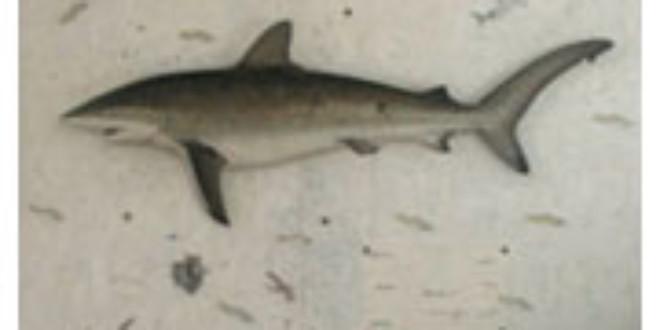 Art for Sharks from westender.com.au