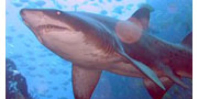 Grey Nurse Shark from Wikipedia