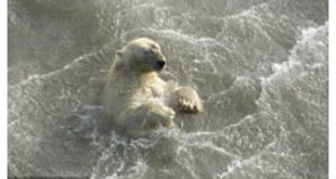Scientists found this polar bear swimming in Alaska
