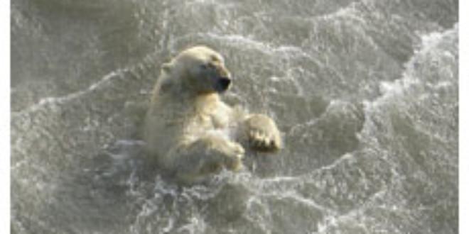 Scientists found this polar bear swimming in Alaska