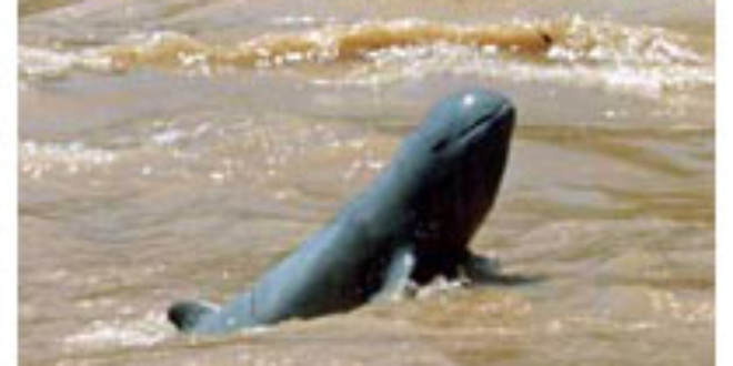 Mekong river dolphin