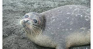 Caspian seal (Pusa caspica). (Credit: Copyright Simon Goodman, University of Leeds/Caspian International Seal Survey)