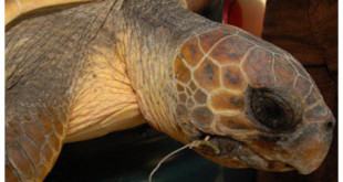 The rescued turtle, with a fishing line in its mouth From timesofmalta.com