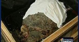 Sea Turtle Injured In Virgin Islands Flown To Miami