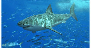 Quarter of Atlantic sharks and rays face extinction