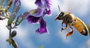 Honey bee (Credits: Wikipedia)