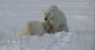 A female nursing a two-year-old cub