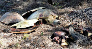 The remains of three giant sea turtles dumped by the side of the road