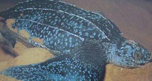 Dermochelys coriacea. Credits: Wikipedia
