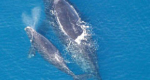 North Atlantic Right Whale and calf. Credits: Wikipedia