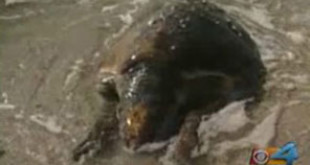 A sea turtled washed ashore in Ft. Lauderdale in what some say was struck by a boat. CBS