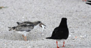 Photo: Black Skimmers Colony