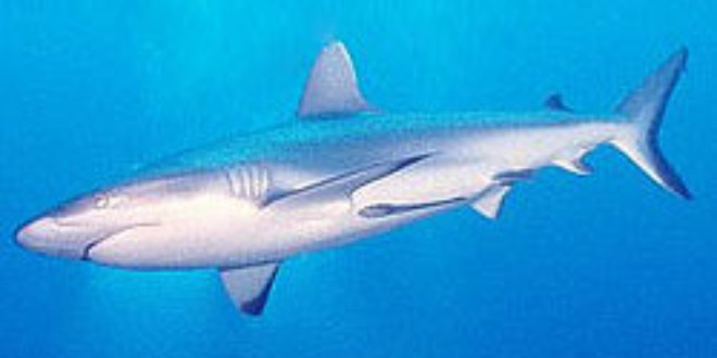 Shark Conservation Act Becomes Law - Ocean Sentry