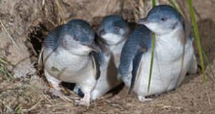 Little Penguin (Eudyptula minor) family exiting burrow at night, Bruny Island. Via Wikipedia