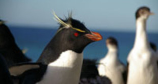 Southern Rockhopper Penguin. Via Wikipedia