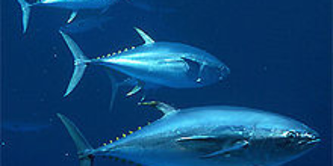The Pacific Bluefin Tuna Is Going, Going…
