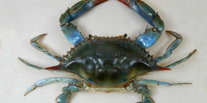 blue crab report essay Science essays: the blue crab the blue crab this essay the blue crab and other 63,000+ term papers, college essay examples and free essays are available now on reviewessayscom.