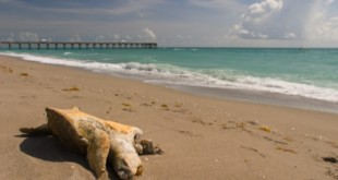 Trade sanctions sought to stop mass killing of sea turtles in Mexican fisheries