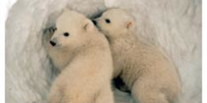Starved polar bear perished due to record sea-ice melt, says expert