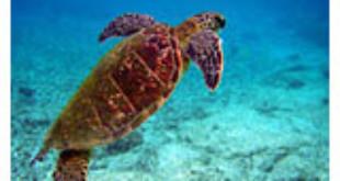 Endangered sea turtles eat more plastic than ever