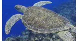 Endangered species of sea turtle sees drop in nest numbers for 2013