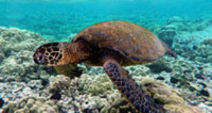 Scientists try to determine why sea turtles are not nesting in Nicaragua