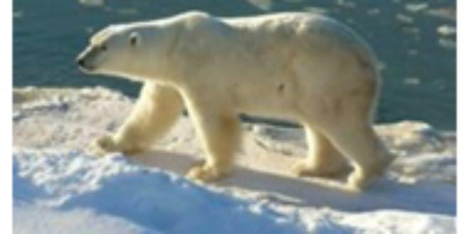 Polar Bears Dining on Strange, Toxic Seals