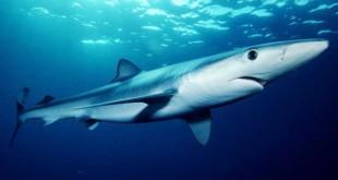 'Wall of Death' Decimates Britain's Sharks