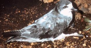 Hawaiian Petrel Pterodroma sandwichensis in burrow