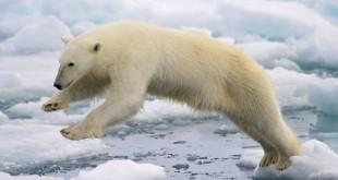 640px-Polar Bear AdF