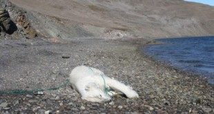 polar-bear-shoot-killed