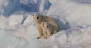 640px-Female polar bear Ursus maritimus with cub Svalbard