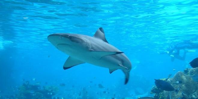 640px-Shark - opening