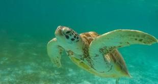 640px-Meeresschildkröte Malediven