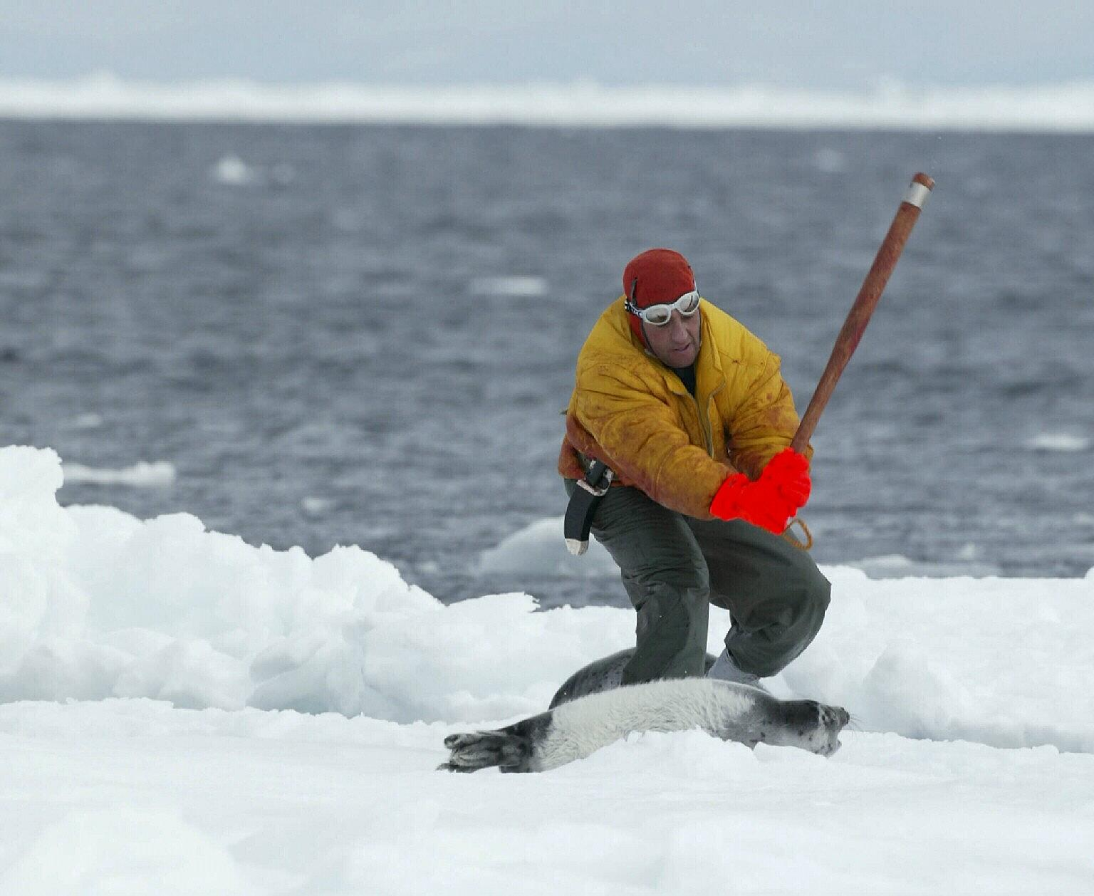 As Of April 27 Sealers Have Killed Roximately 58 764 Harp Seal Pups On The Ice Floes Off Canada S East Coast Ocean Sentry