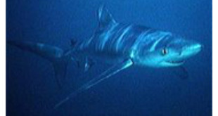 Blue Shark From Wikipedia