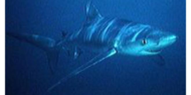 Blue Shark From Wikipedia