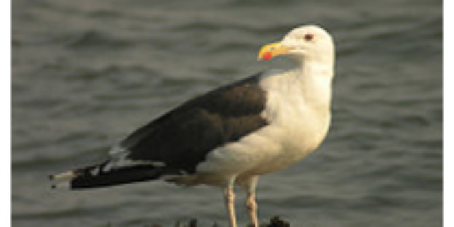 Great Black-backed Gull from Wikipedia