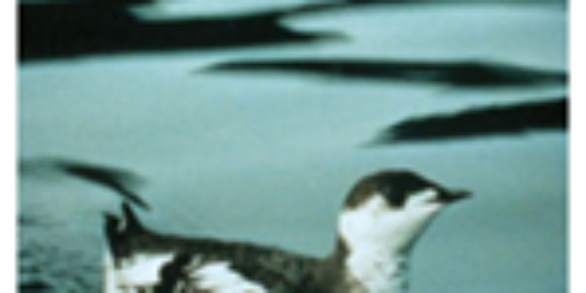 Marbled Murrelet from Wikipedia