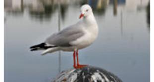 From Wikipedia - Silver Sea Gull