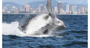 Picture: Seapix Photos/Gold Coast Whale Watching Association