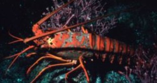 Spiny lobsters (Wikipedia)
