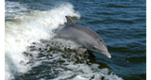 Bottlenose Dolphin From Wikipedia