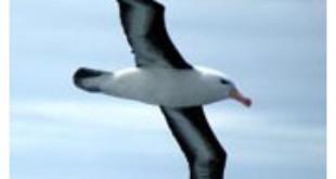 Albatross from sabcnews.com