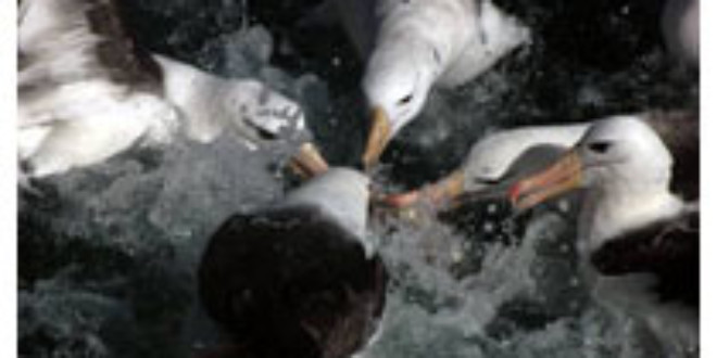 Black-browed Albatrosses are one of the main species affected by bycatch in Argentinean fisheries - Leo Tamini