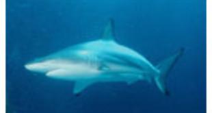 Blacktip Shark - Wikipedia