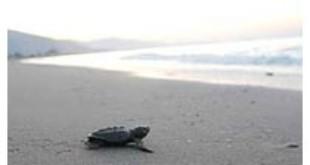 Loggerhead Sea Turtle from Wikipedia