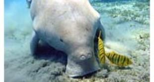 Dugong From Wikipedia
